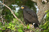 541710153 a wild common black hawk buteogallus anthracinus a raptor that is actually dark brown in color looks out from its nest in a tall ebony tree in tamaulipas state mexico