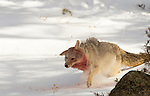 This coyote is shaking after having fed on an elk carcass nearby, out of photograph.  You can see chunks of snow and frozen blood from the carcass flying from his fur as he shakes. Photo by Gus Curtis.g