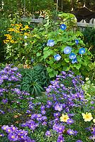 Fall September autumn flower garden with morning glory vine Ipomoea Heavenly Blue, Aster dumosus Sapphire, Coreopsis Full Moon, Rudbeckia, Helleborus, picket fence