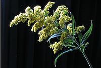 Flores. Tango, Vara-dourada ( Solidago canadensis). SP. Foto de Manuel Lourenço.