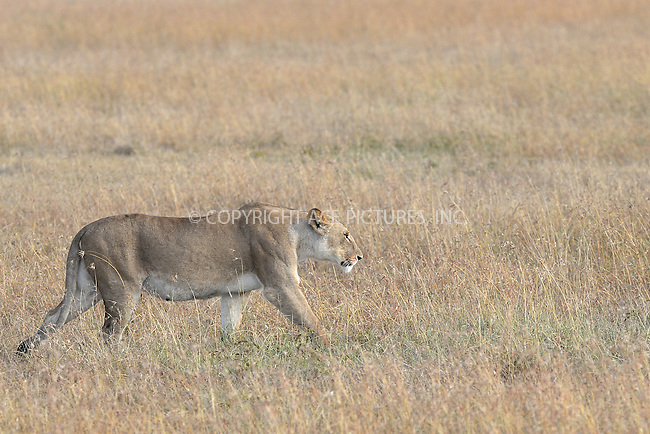 WWW.ACEPIXS.COM<br /> February 29, 2016 New York City<br /> <br /> Lion seen in Sweetwaters Game Reserve Ol Pejeta Conservancy on February 29, 2016 in Kenya.<br /> <br /> Credit: Kristin Callahan<br /> web: http://www.acepixs.com