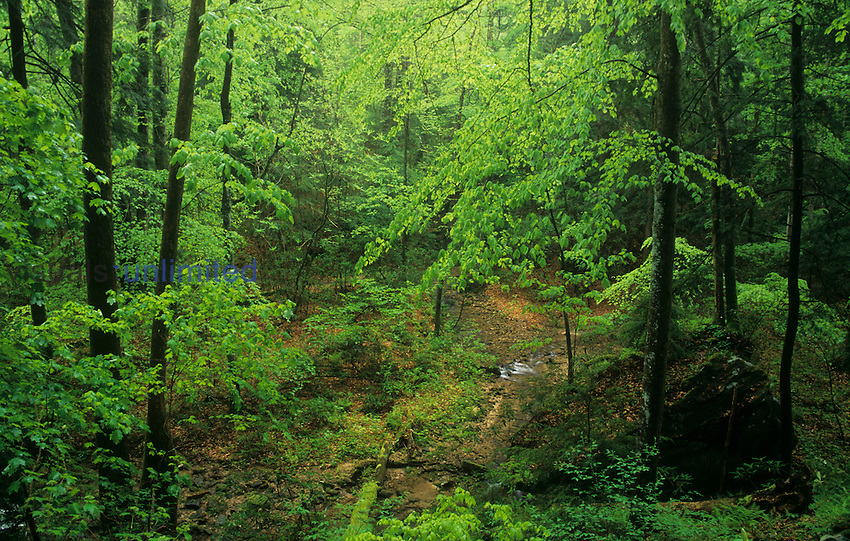 Lush hardwood or deciduous forest in early spring, Big South Fork National River and Recreation Area, Kentucky, USA.
