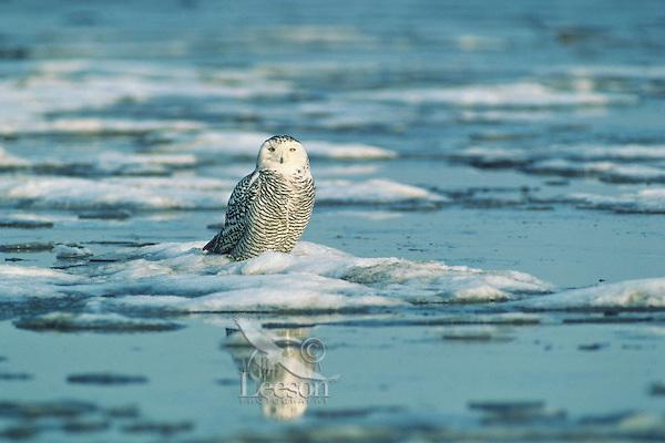 Snowy owl (Bubo scandiacus), winter.