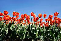 Oranje tulpen in Limmen