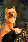 Chinese Crested Shopping cart has 3 Tabs:<br /> <br /> 1) Rights-Managed downloads for Commercial Use<br /> <br /> 2) Print sizes from wallet to 20x30<br /> <br /> 3) Merchandise items like T-shirts and refrigerator magnets