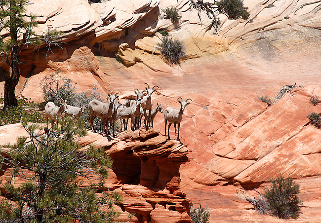 Bighorn sheep are perched on the edge of a cliff at Zion National Park