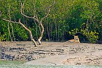 royal bengal tiger, Panthera tigris tigris,endangered species, sitting on mudflat, Sundarban Tiger Reserve, West Bengal, India