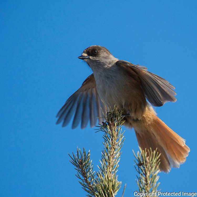 Lavskrike (Perisoreus infaustus) ----- Siberian Jay  (Perisoreus infaustus)