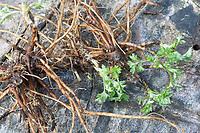 Beifuß-Wurzel, Beifuß-Wurzeln, Beifuss-Wurzel, Beifuss-Wurzeln, Beifusswurzel, Beifusswurzeln, Beifuß, Gewöhnlicher Beifuß, Beifuss, Artemisia vulgaris, Mugwort, common wormwood, wild wormwood, wormwood, root, roots, L'Armoise commune, L'Armoise citronnelle