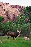 Mule Deer, Bright Angel Creek
