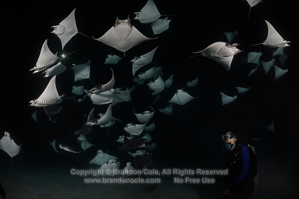 TW3471-D. Smoothtail Mobula Rays (Mobula munkiana), an aggregation of hundreds of the 2 to 3 foot wide rays are feeding on plankton at night. Also called Munk&Otilde;s devil ray and Pygmy Devil Ray. Scuba diver (model released) observes the amazing spectacle. Baja, Mexico, Sea of Cortez, Pacific Ocean.<br /> Photo Copyright &copy; Brandon Cole. All rights reserved worldwide.  www.brandoncole.com