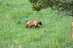 WY: Wyoming; Yellowstone National Park,.Black bear..Photo #: yellow1667.Photo copyright Lee Foster, 510/549-2202, lee@fostertravel.com, www.fostertravel.com..