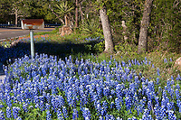 Rustic rural countryside mailbox covered with bluebonnets, Texas Hill Country wildflower background. Beautiful backcountry landscape photo - Stock Image.