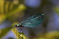 Blauflügel-Prachtlibelle, Prachtlibelle, Männchen, Calopteryx virgo, bluewing, Beautiful Demoiselle, demoiselle agrion, male