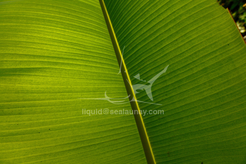 Banana leaf at Panasia Island.Panasia is a spectacular island of uplifted coral reef making jagged limestone cliffs in the Louisiade Archipelago..The Louisiade Archipelago is a string of ten larger volcanic islands frequently fringed by coral reefs, and 90 smaller coral islands located 200 km southeast of New Guinea, stretching over more than 160 km and spread over an ocean area of 26,000 km  between the Solomon Sea to the north and the Coral Sea to the south. The aggregate land area of the islands is about 1,790 kmu178  (690 square miles), with Vanatinai (formerly Sudest or Tagula as named by European claimants on Western maps) being the largest..Sideia Island and Basilaki Island lie closest to New Guinea, while Misima, Vanatinai, and Rossel islands lie further east..The archipelago is divided into the Local Level Government (LLG) areas Louisiade Rural (western part, with Misima), and Yaleyamba (western part, with Rossell and Tagula islands. The LLG areas are part of Samarai-Murua District district of Milne Bay. The seat of the Louisiade Rural LLG is Bwagaoia on Misima Island, the population center of the archipelago. .The Louisiade Archipalego is part of the Milne Bay province of Papua New Guinea..It lies between approximately 10 degrees south and 11.5 degrees south, and 151 degrees east and 154 degrees east. It is an area of Islands, reefs and cays some 200 nm long and 50 nm wide, stretching from the south east tip of mainland Papua New Guinea in a east south east direction..Panasia Island.Panasia is a spectacular island of uplifted coral reef making jagged limestone cliffs in the  Louisiade Archipelago..The Louisiade Archipelago is a string of ten larger volcanic islands frequently fringed by coral reefs, and 90 smaller coral islands located 200 km southeast of New Guinea, stretching over more than 160 km and spread over an ocean area of 26,000 km  between the Solomon Sea to the north and the Coral Sea to the south. The aggregate land area of the islands is abou