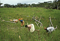West Africa, Liberia, Kpelle tribe: slash-and-burn agriculture: women weeding rice field.