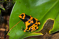 "The Orange and Black ""Bumblebee"" Poison Dart Frog (Dendrobates leukomelas), is a color morph of the Yellow-banded Dart Frog (Dendrobates leukomelas), captive"