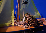 AE2BR8 Frog sailing a toy sailing boat with yellow sails