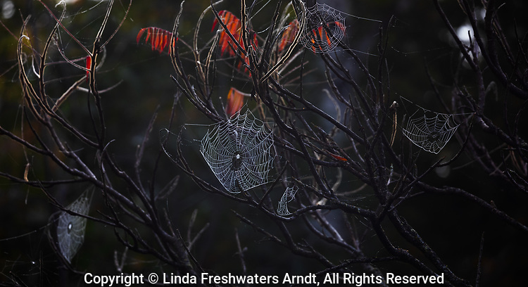 Orb spider webs in the early morning light.