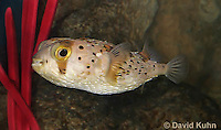 0228-1004  Porcupine Pufferfish (Spiny Balloonfish), Diodon holocanthus  © David Kuhn/Dwight Kuhn Photography.