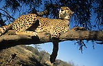 Cheetah, Acinonyx jubatus, in tree, Namibia
