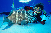 MARINE LIFE: BOAT, REEFS &amp; DIVERS<br /> Nassau grouper and diver<br /> Diver posing for camera on sandy bottom with grouper
