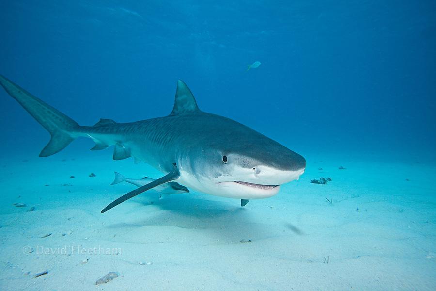 TIGER SHARK, Galeocerdo cuvier, BAHAMAS, ATLANTIC OCEAN ...