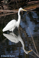 0111-0927   Great Egret Wading in Water Hunting for Prey, Ardea alba  © David Kuhn/Dwight Kuhn Photography.