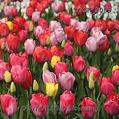 Gisela, FLOWERS, BLUMEN, FLORES, photos+++++,DTGK2059,#f# tulips