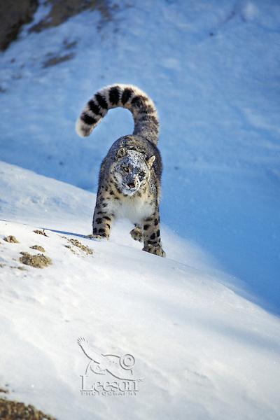Snow leopard (Panthera uncia) or (Uncia uncia), endangered species.