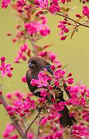 Brown-headed cowbird in a flowering crab apple tree