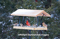 00585-037.13 Northern Cardinals, House Finches & American Goldfinch on platform tray feeder, Marion Co. IL