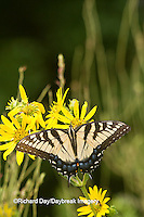 03023-02716 Eastern Tiger Swallowtail (Papilio glaucus) on Cup Plant (Silphium perfoliatum) Marion Co. IL