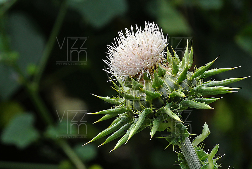 Cardo visto en el Jardín Botánico, José Celestino Mutis, de la ciudad de Bogotá, Colombia./ Thistle seen at the Botanic Garden, Jose Celestino Mutis, in Bogota, Colombia. Photo: VizzorImage/ Gabriel Aponte / Staff