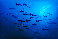scalloped hammerhead, Sphyrna lewini, silhouette, schooling, Cocos Island National Park, Costa Rica, Pacific Ocean
