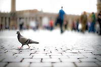 Roman pigeon