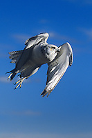 540750022v a white morph adult captive gyrfalcon falco rusticolus takes flight from its perch on a large boulder in colorado