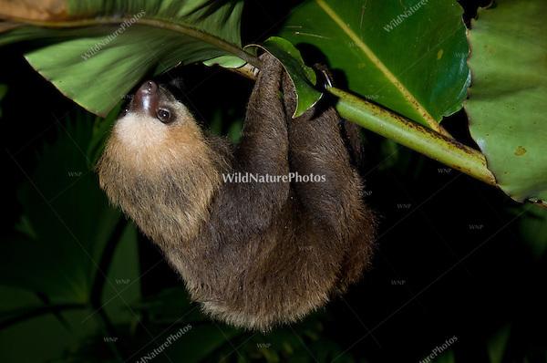 Hoffmann's Two-toed Sloth (Choloepus hoffmanni) hanging upside-down, climbing, Bocas del Toro, Colon Island, Panama