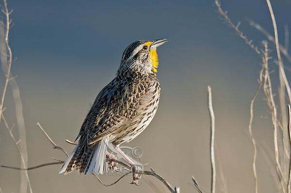 Western Meadowlark (Sturnella neglecta) singing. . Western U.S., spring.
