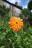 Marigold in a suburban garden