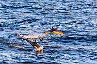 short-beaked common dolphin, Delphinus delphis, jumping, San Diego, California, USA, Pacific Ocean