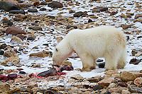 01874-12816 Polar bear (Ursus maritimus) eating Ringed Seal (Phoca hispida)  in winter, Churchill Wildlife Management Area, Churchill, MB Canada