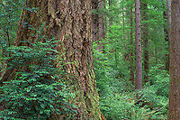 ORCOC_D280 - USA, Oregon, Siuslaw National Forest, Cape Perpetua Scenic Area, Huge furrowed trunk of Douglas fir and smaller Sitka spruce in old growth coastal rainforest with understory plants.