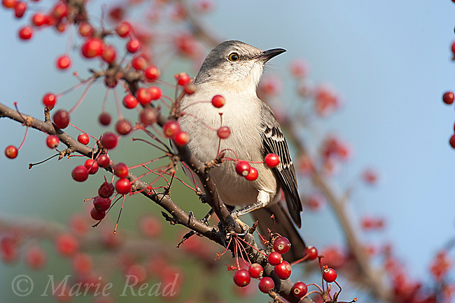Northern Mockingbird (Mimus polyglottos) perched amid crabapples in autumn, Ithaca, New York, USA