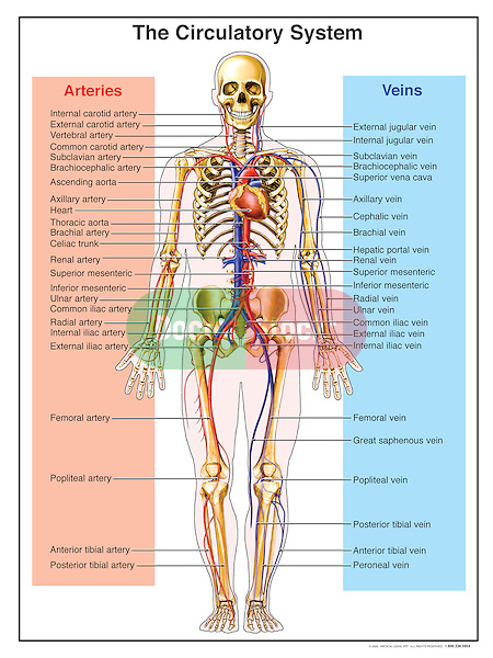 Accurately depicts the circulatory, or cardiovascular, system. Labels for heart and arteries: internal carotid, external carotid , vertebral, common carotid, subclavian, brachiocephalic, ascending aorta, axillary, brachial, celiac trunk,  renal, superior mesenteric, ulnar, common iliac, radial, internal iliac, external iliac, femoral, popliteal, anterior tibial and posterior tibial artery. Also includes same name veins, as well the internal jugular, external jugular and common hepatic veins.