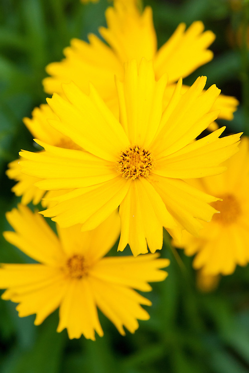 Coreopsis grandiflora 'Sunny Day', early August.