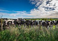 Black and white dairy heifers, near Preston, Lancashire.