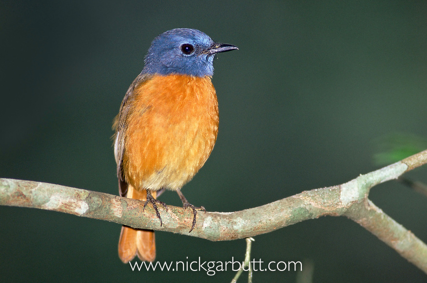 Amber Mountain Rock Thrush (Monticola erythronotus). Mt d'Ambre NP, northern Madagascar.