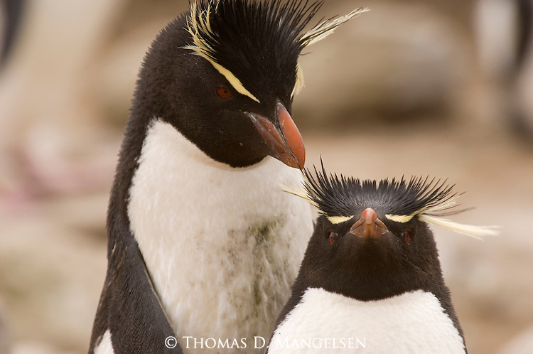 Portrait of a pair of rockhopper penguins on West Point Island in the Falkland Islands.