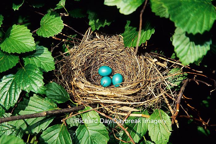 01392-003.06 Gray Catbird (Dumetella carolinensis) nest with 3 eggs in Arrowwood Viburnum (Viburnum dentatum), Marion Co. IL